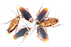 new york cockroaches