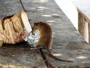 rat eating through garbage