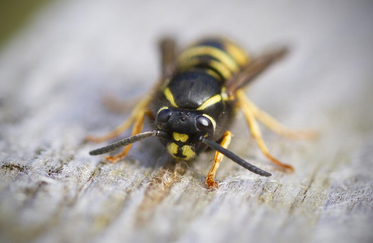 wasp, bee
