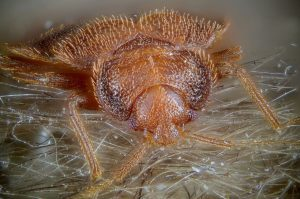 bed bug close-up