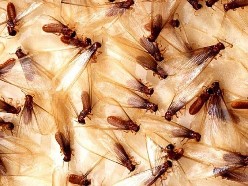 Termites, How Do I Know If They Are In My Home?